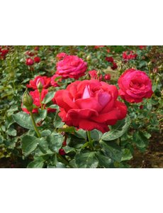 Rosa Dame de Coeur - Stammhöhe 70 cm