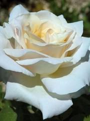 Meilland® Rosa Pierre Arditi®