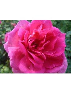Rosa Pink Cloud