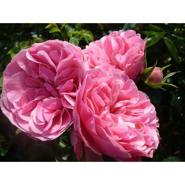 Meilland® Rosa Leonardo da Vinci- Stammhöhe  50cm-60cm-70cm -90cm