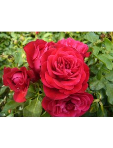 Meilland® Rosa Mona Lisa® (Rouge Meilove) - Stammhöhe 60cm und 90cm