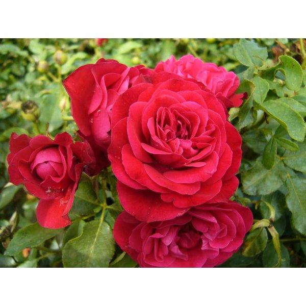 Meilland® Stamroos  Mona Lisa® (Rouge Meilove) - Stamhoogte 60cm en 90cm