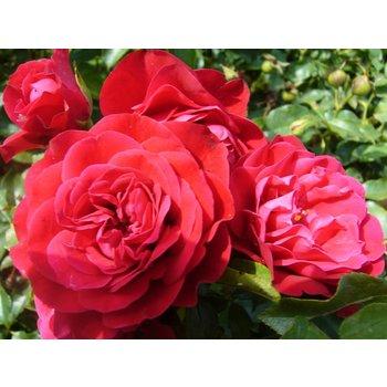 Meilland® Stamroos Rouge Meilove® - Stamhoogte 60 cm