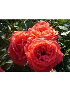 Rosa Ramona
