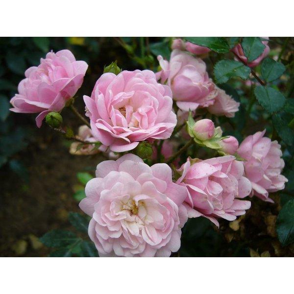 Rosa The Fairy - Stammhöhe 70cm und 90cm