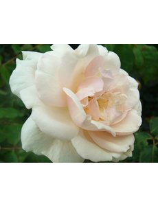Rosa Alfred Carriere