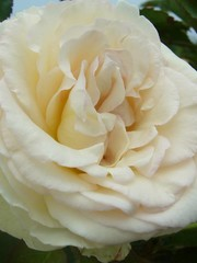 Meilland® Rosa Palais Royal® (White Eden Rose)