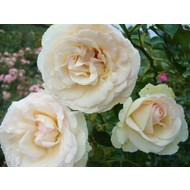 Meilland® Klimroos Palais Royal® (White Eden Rose)