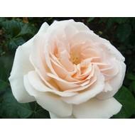 Meilland® Rosa Prince Jardinier® - Schloss Ippenburg