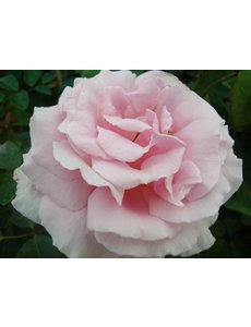 Meilland® Rosa Frederic Mistral®
