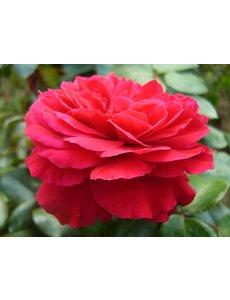 Meilland® Rosa Red Leonardo Da Vinci®