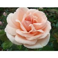 Meilland® Rosa Maxima Romantica®