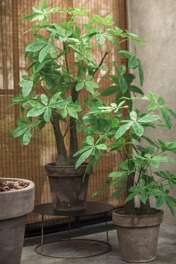 Silk-ka Plant Schefflera Green   174 cm