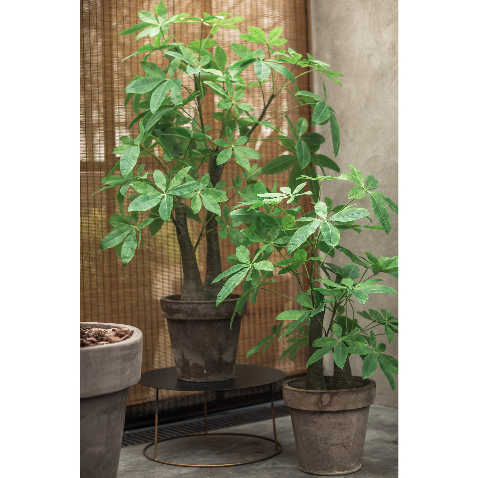 Silk-ka Schefflera Green   122 cm