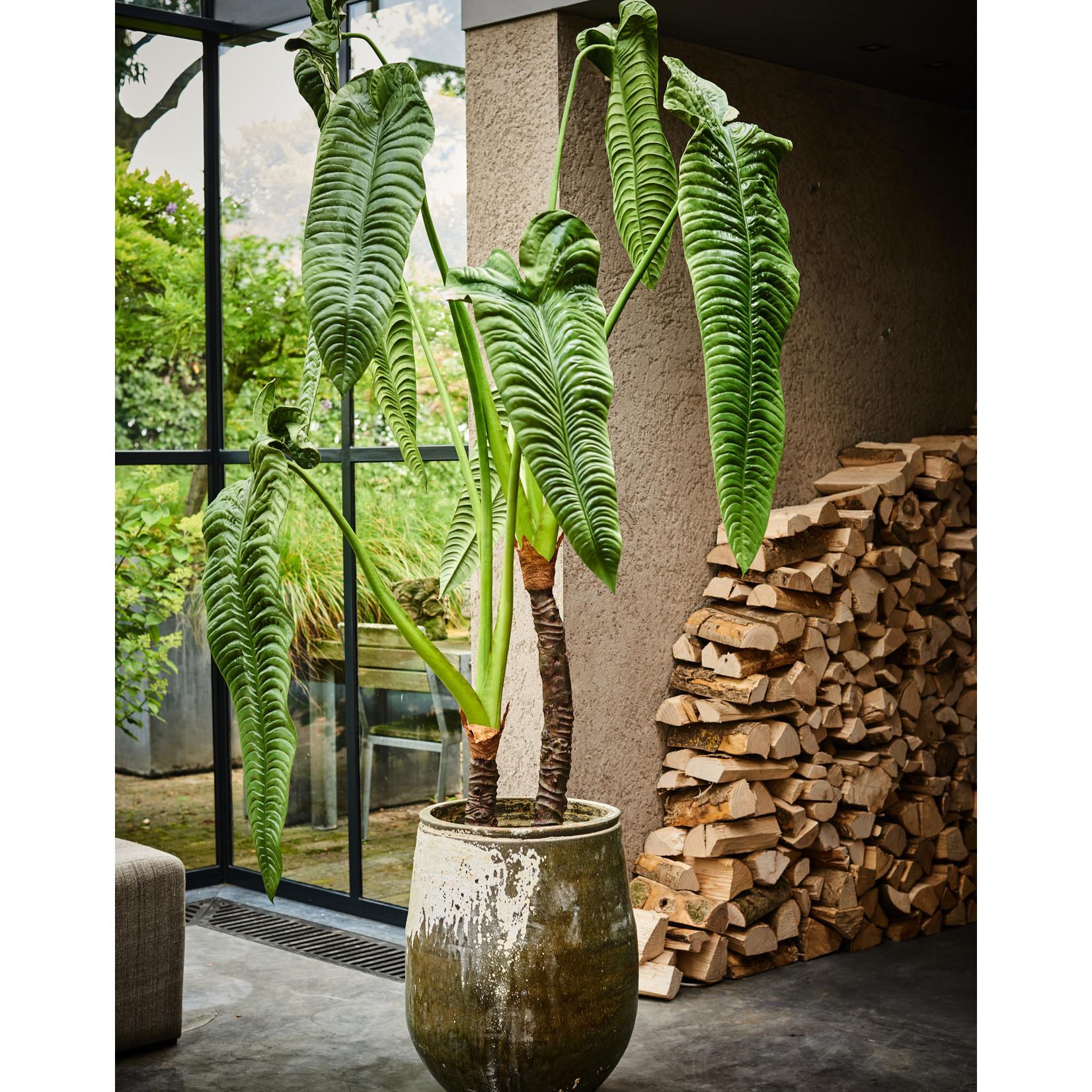 Silk-ka Alocasia Green | 178 cm