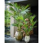 Silk-ka Plant Kentia Palm Green | 220 cm