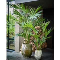 Silk-ka Plant Kentia Palm Green | 220 cm