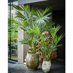 Silk-ka Plant Kentia Palm Groen | 220 cm