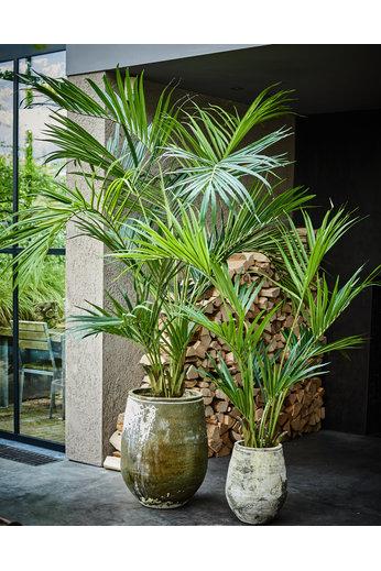 Silk-ka Plant Kentia Palm Groen   220 cm