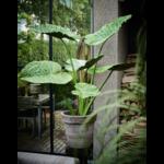 Silk-ka Plant Alocasia Green   124 cm