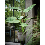 Silk-ka Plant Alocasia Groen   124 cm