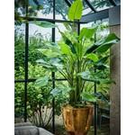 Silk-ka Strelitzia plante verte | 183 cm