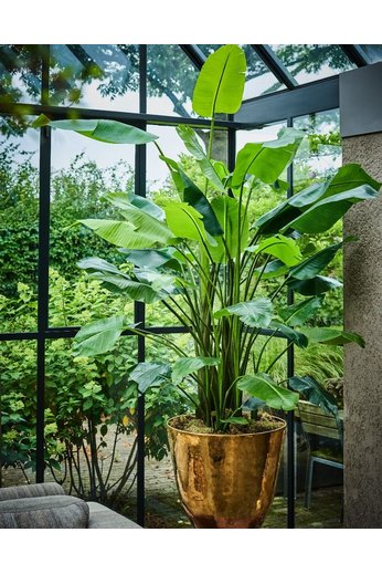 Silk-ka Strelitzia Plant Green | 183 cm