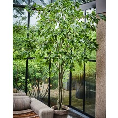 Silk-ka Plant Ficus Green | 300 cm