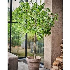 Silk-ka Plant Ficus Green   180 cm
