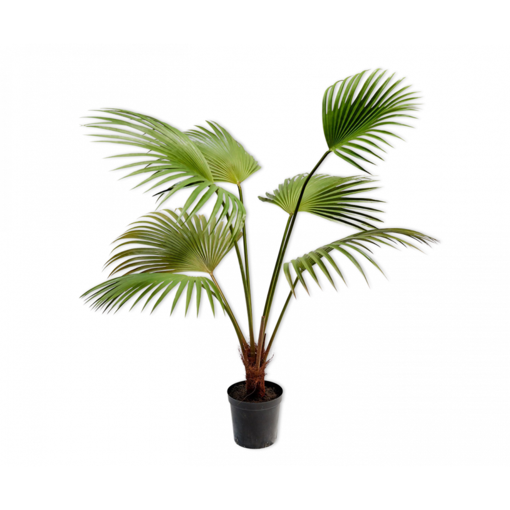 Silk-ka Palm Green | 140 cm
