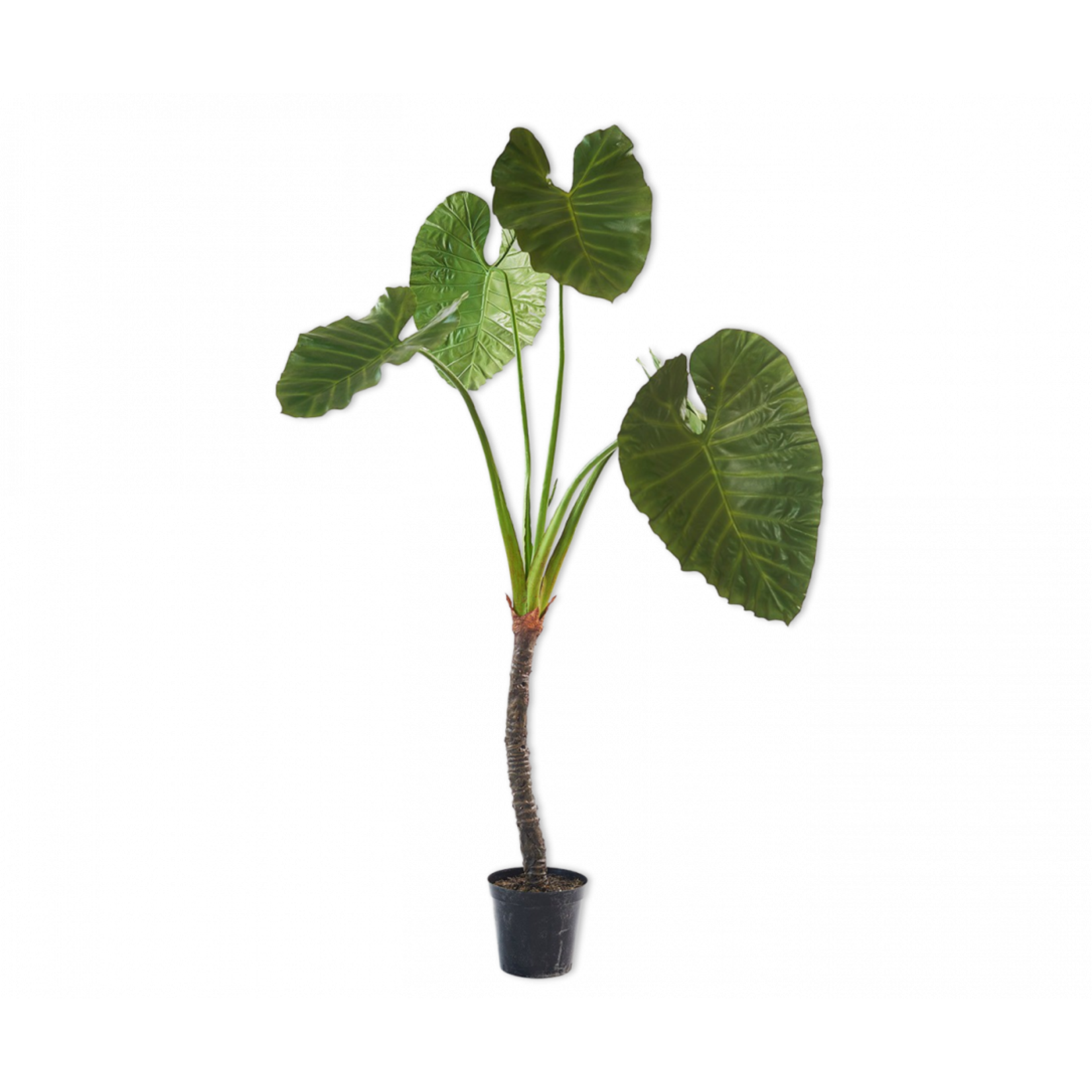 Silk-ka Alocasia Green | 220 cm