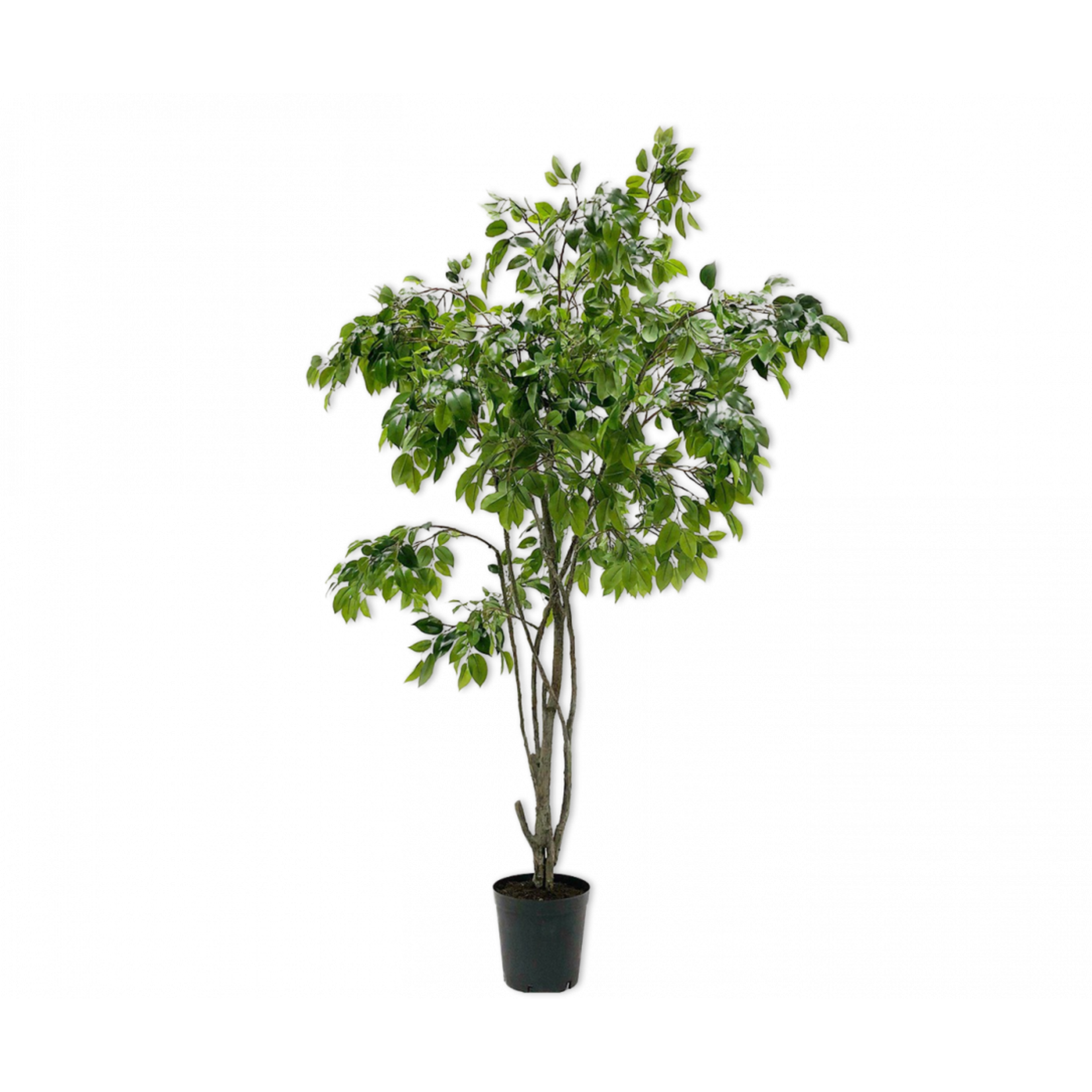 Silk-ka Ficus Green | 240 cm