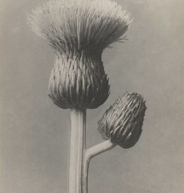 Foam Editions Karl Blossfeldt - Grey Thistle