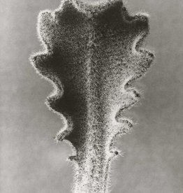 Foam Editions Karl Blossfeldt - Hairy Catsear