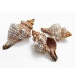Shell Fasciolara Trapezium Hermit