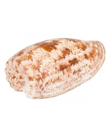 Cone Geographus shell