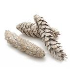 Dennenappel Strobus large wit