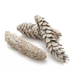 Pine cone Strobus large white