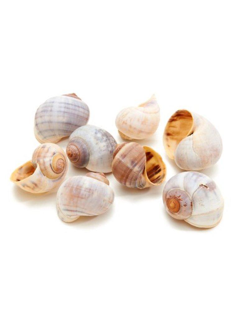 Policinus shell