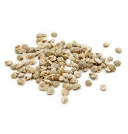White Umbonium shell