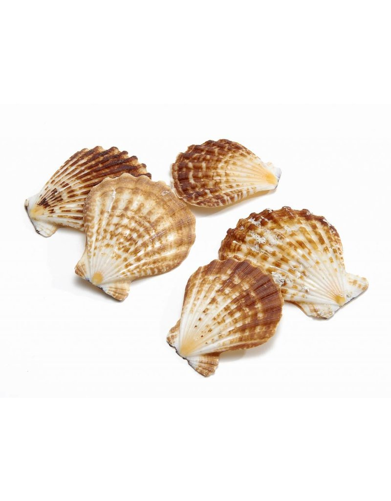 Shell Pecten Radula