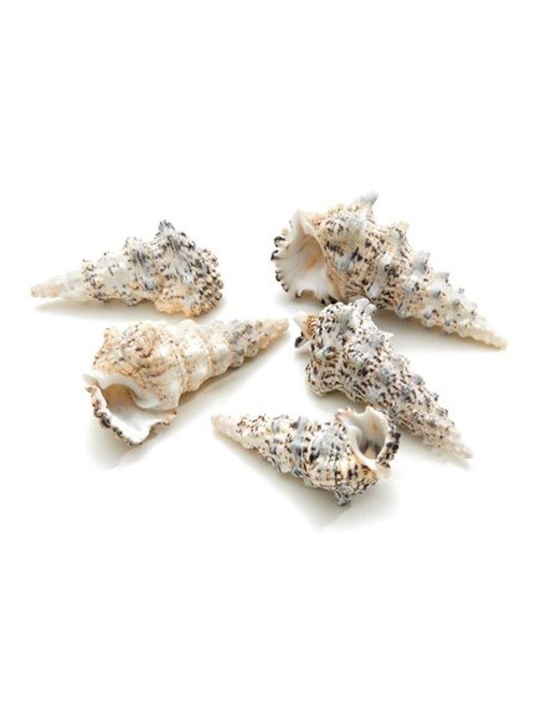 Shell Cerithium Nodelosum 1 kg