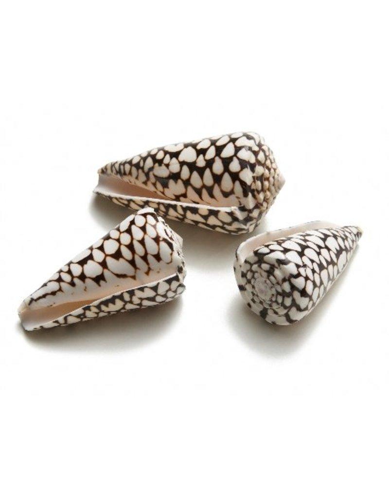 Cone Marmoreus shell