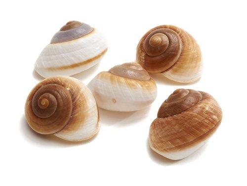 Land snail Lamarkiana natural