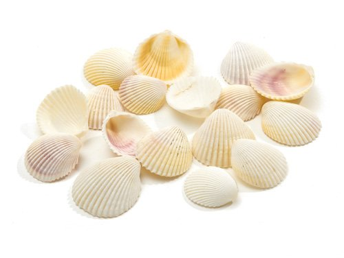 Shell White Cockle