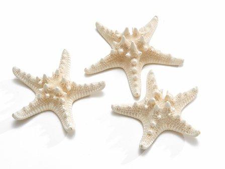 Zeester Philippine 10-15 cm gebleekt