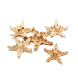 Philippine starfish 5-7 cm natural