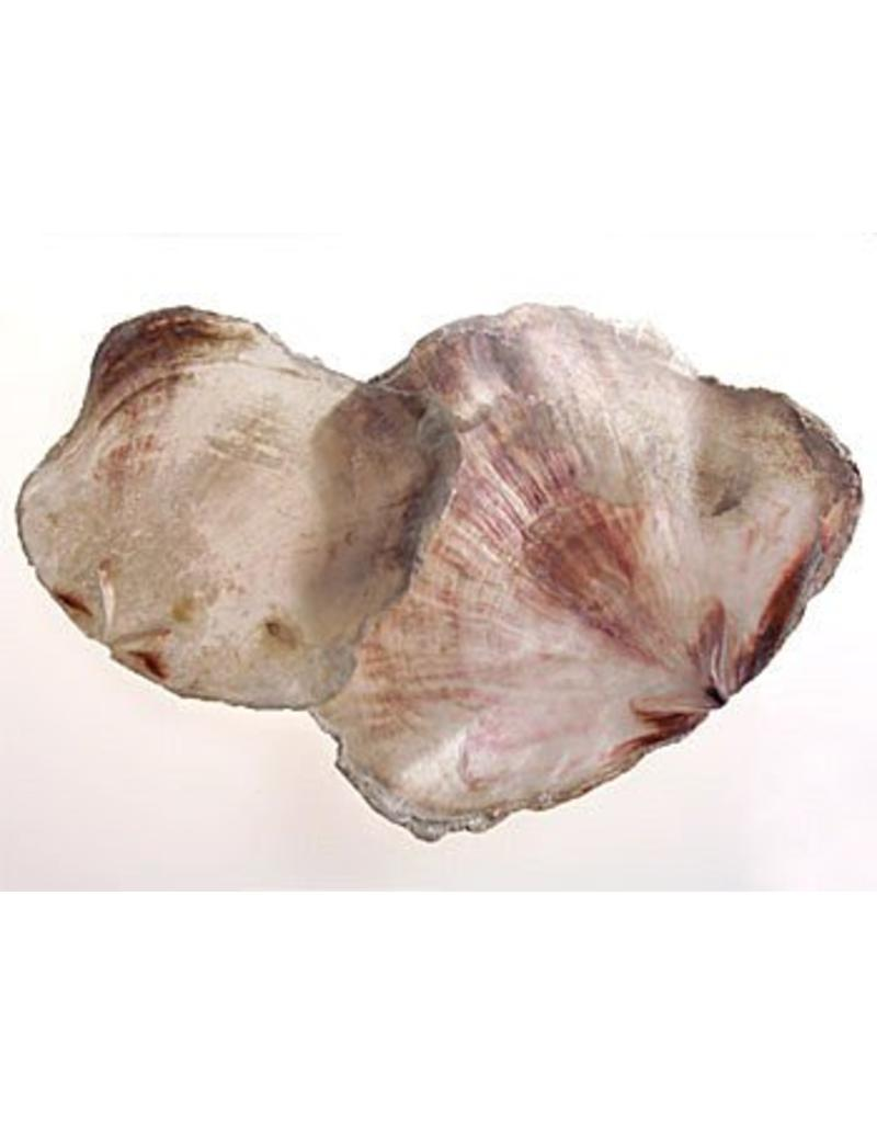 Shell Placuna
