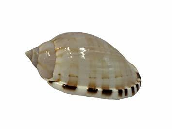 Cassis Vibex Cone