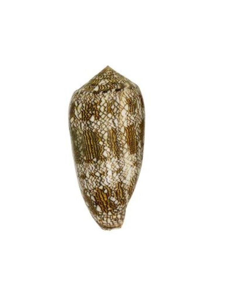 Conus Textille
